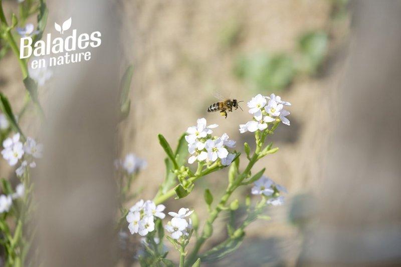 À la découverte des abeilles sauvages