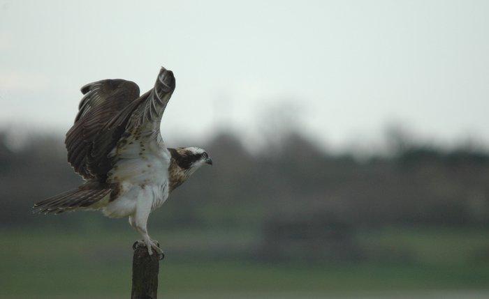 Le balbuzard pêcheur dans les plaines Coordination régionale LPO Pays de la Loire