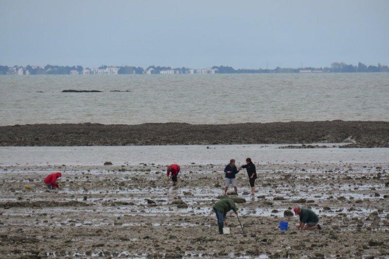 Norovirus : la pêche aux coquillages rouverte en baie de Bourgneuf et sur les traicts de Pen Bé et du Croisic