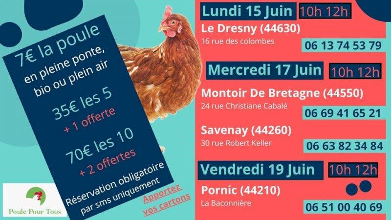 Sauvetage et vente de poules pondeuses