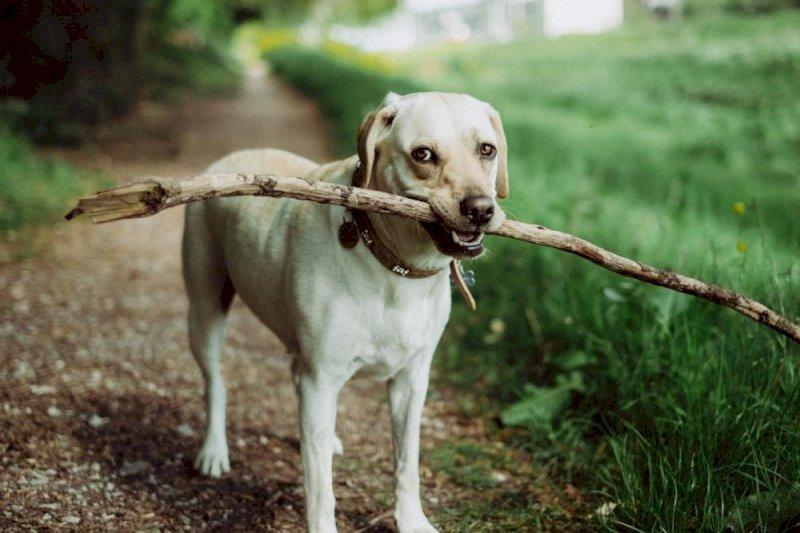 Capture de chiens