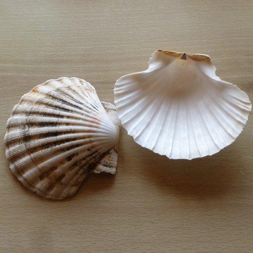2 coquillages st jacques naturel 11cm