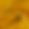 Tissu double gaze coton jaune moutarde - 135x50cm