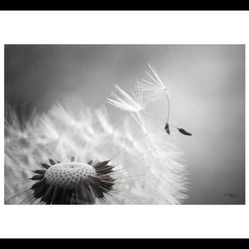 Ils-L nous ont quittés..... - Page 7 1070236-photo-nature-noir-et-blanc-graines-de-pissenlit-envol-noir-3_medium