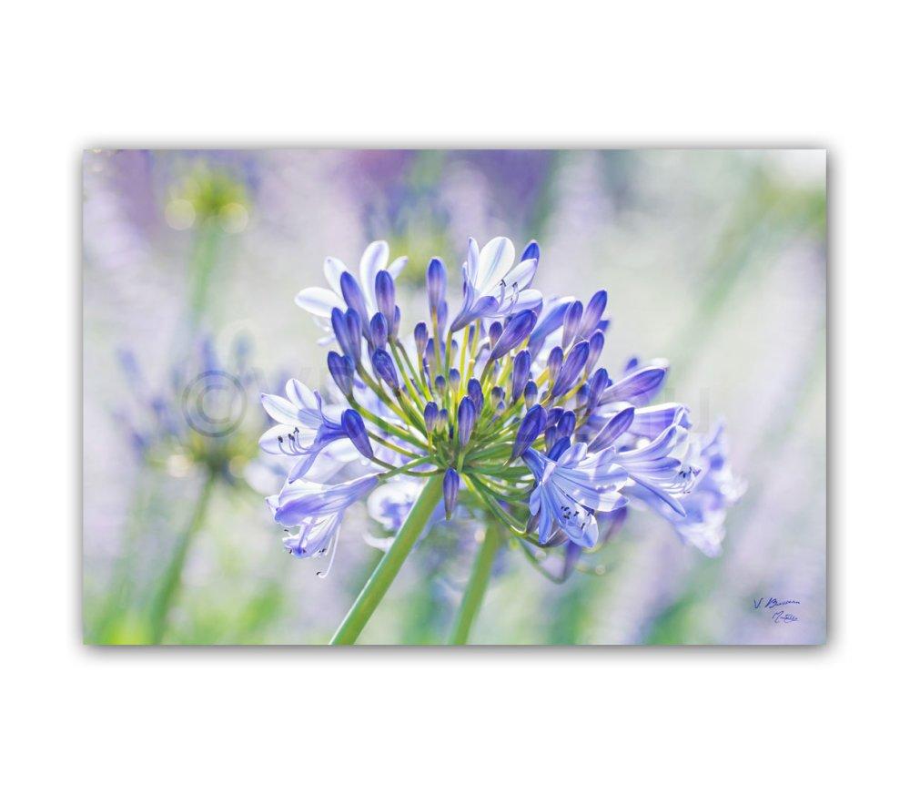 5 cartes  postales  fleurs des parcs et jardins violet mauve rose lavande anémone agapanthe glycine - flowers