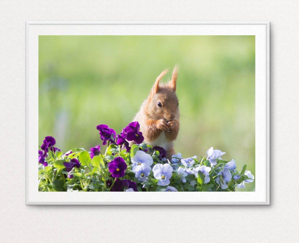 Photo du petit écureuil roux dans les fleurs de pensée, 13 x 18 cm