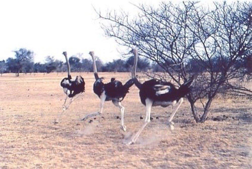 reproduction de mon aquarelle unique et originale : course d'autruches près d'Oum Hadjer , Tchad .