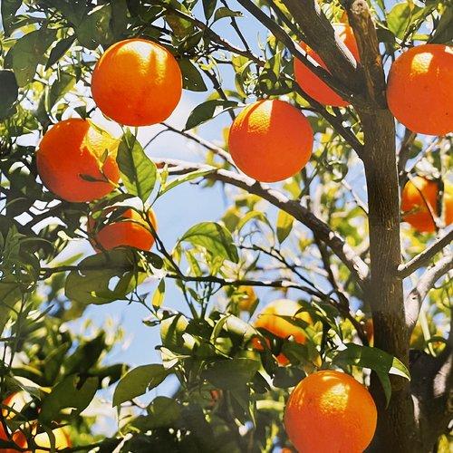 Set de table plastifié «un oranger»