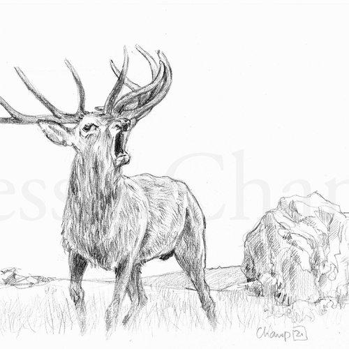 Etude d'animaux sauvages - brame de cerf