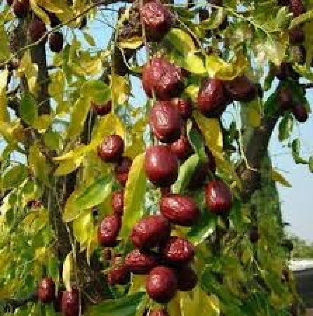 Ziziphus jujuba,fruits mure,JUJUBA BIOLOGIQUE,plantes médicinales,Fruits rare,fruits des pays de balcan,fruits biologique,
