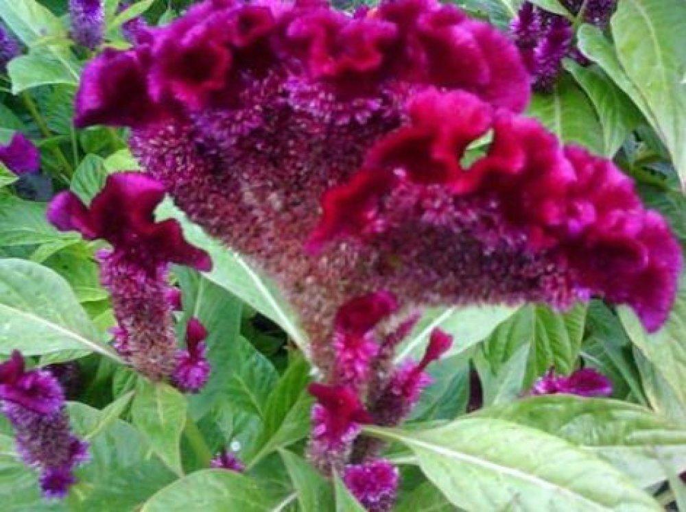 Graines de Crête De Coq, Plante Panache,L'amarante À Plumes,herbes,épices de plantes médicinales,produits de mon jardin
