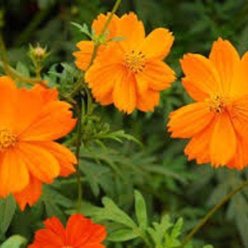 Sulphureus et fleurs de souci mélange,les herbes,épices,produits de mon jardin,graines bio,cueilli et séché à l'air libre