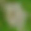 Robinia pseudoacacia,robinier faux-acacia,acacia,faux-acacia, robinier,graines acacia