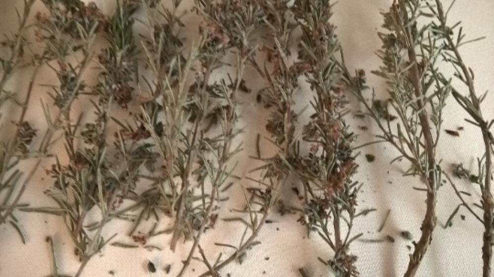 ROMARIN,Tiges de romarin séchés,avec les feuilles et les fleurs,les herbes,épices,plantes médicinales