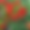 Pyracantha coccinea 'red column',graines de pyracantha,les herbes,épices, produits de mon jardin, plante bio