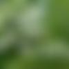 Graines de muguet des bois,les herbes,épices, produits de mon jardin, plante bio,cueilli et séché,à l'air libre