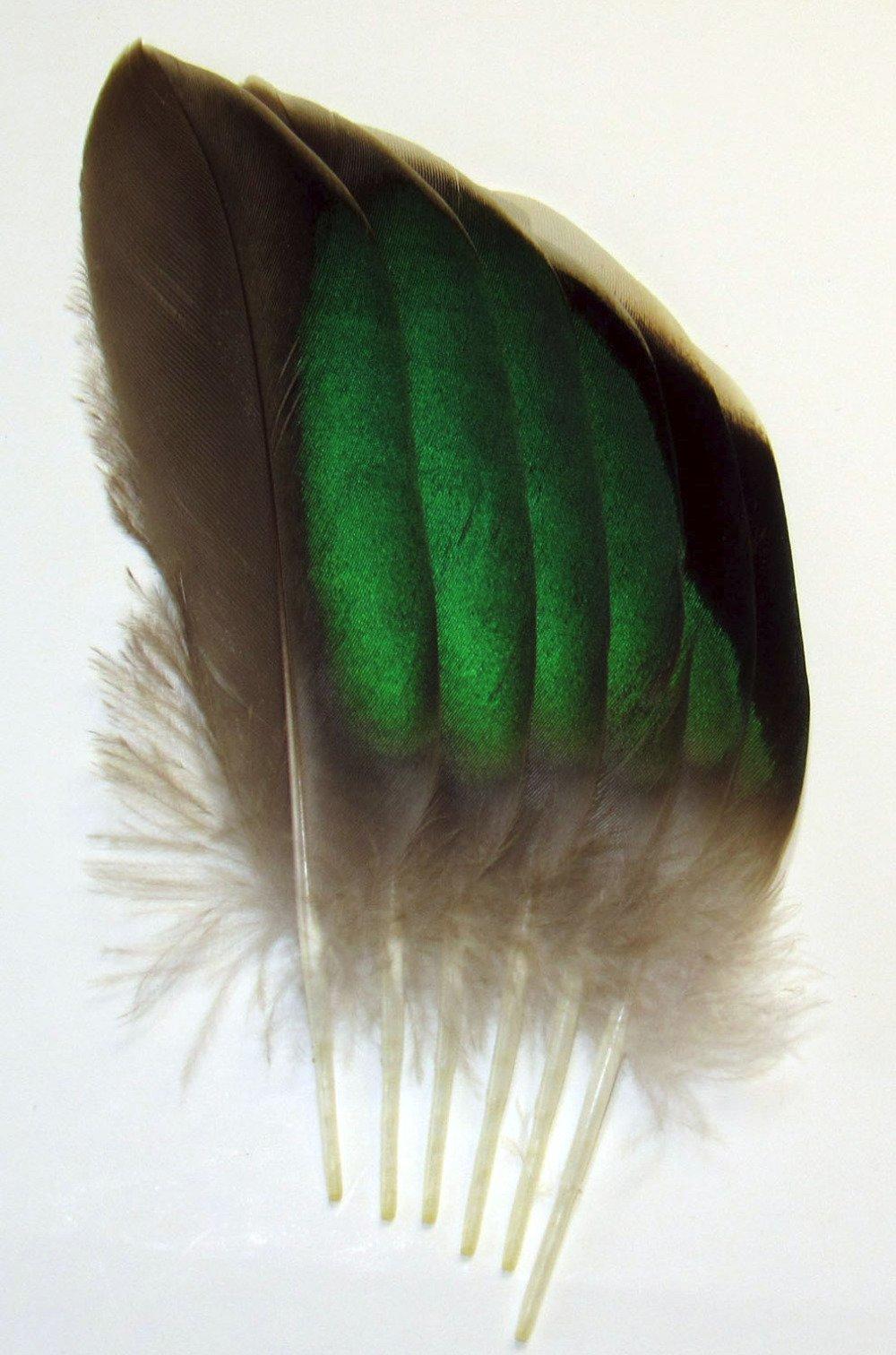 Lot n°12 de 6 très belles plumes naturelles à reflets verts de sarcelle.