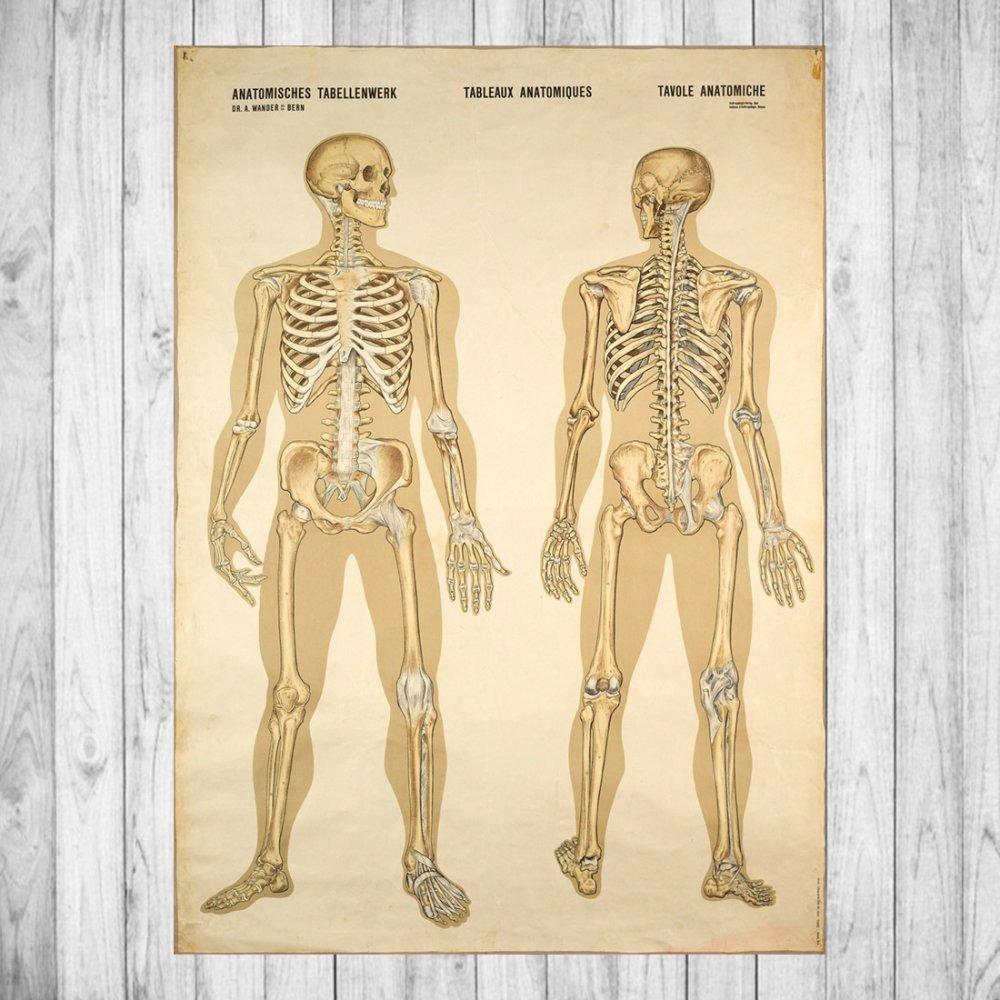 Affiche - Tableau anatomique - Tirage photo sur papier brillant 20x30