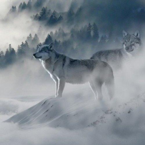Wolfpackmarket