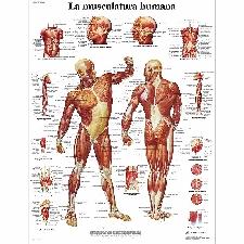 Lámina de anatomia: Musculatura humana