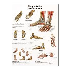 Lámina de anatomía: Pie y tobillos