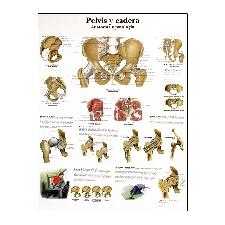 Lámina de anatomía: Pelvis y cadera