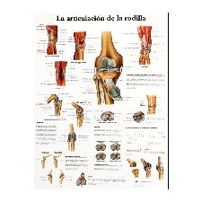 Lámina de anatomía: Articulación de la rodilla