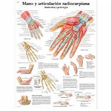 Lámina de anatomía: Mano y articulación radiocarpiana